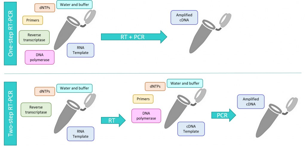 compared to one step rt pcr the disadvantages of two stage rt pcr include several steps for extended workflow additional handling and processing of the