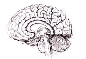 Adult Human Brain