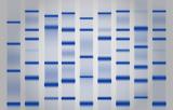 Molecular weight ladders
