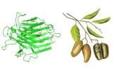 Griffonia simplicifolia lectin (GSL)