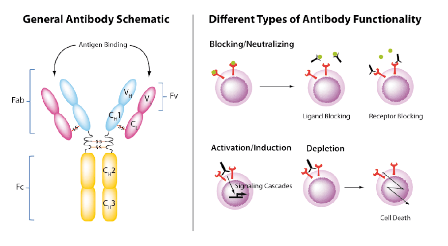 Functional antibodies