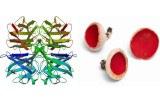 Lectine Aleuria aurantia (Champignon) (AAL)