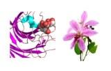 Lectine Bauhinia purpurea (arbre à orchidée) (BPA/BPL)