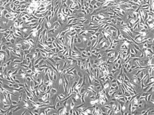 Generation de Cellules Souches