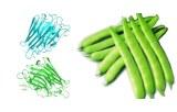Lectine Phaseolus vulgaris (Kidney bean) (PHA-E+L)