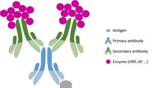 Protocole général d'immunohistochimie (IHC)
