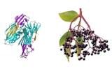 Lectine Sambucus nigra (SNA/EBL I+II)