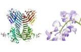 Wisteria floribunda (WFA/WFL)